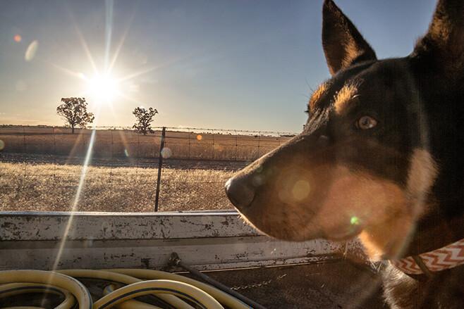 rabbit-proof-fence dog