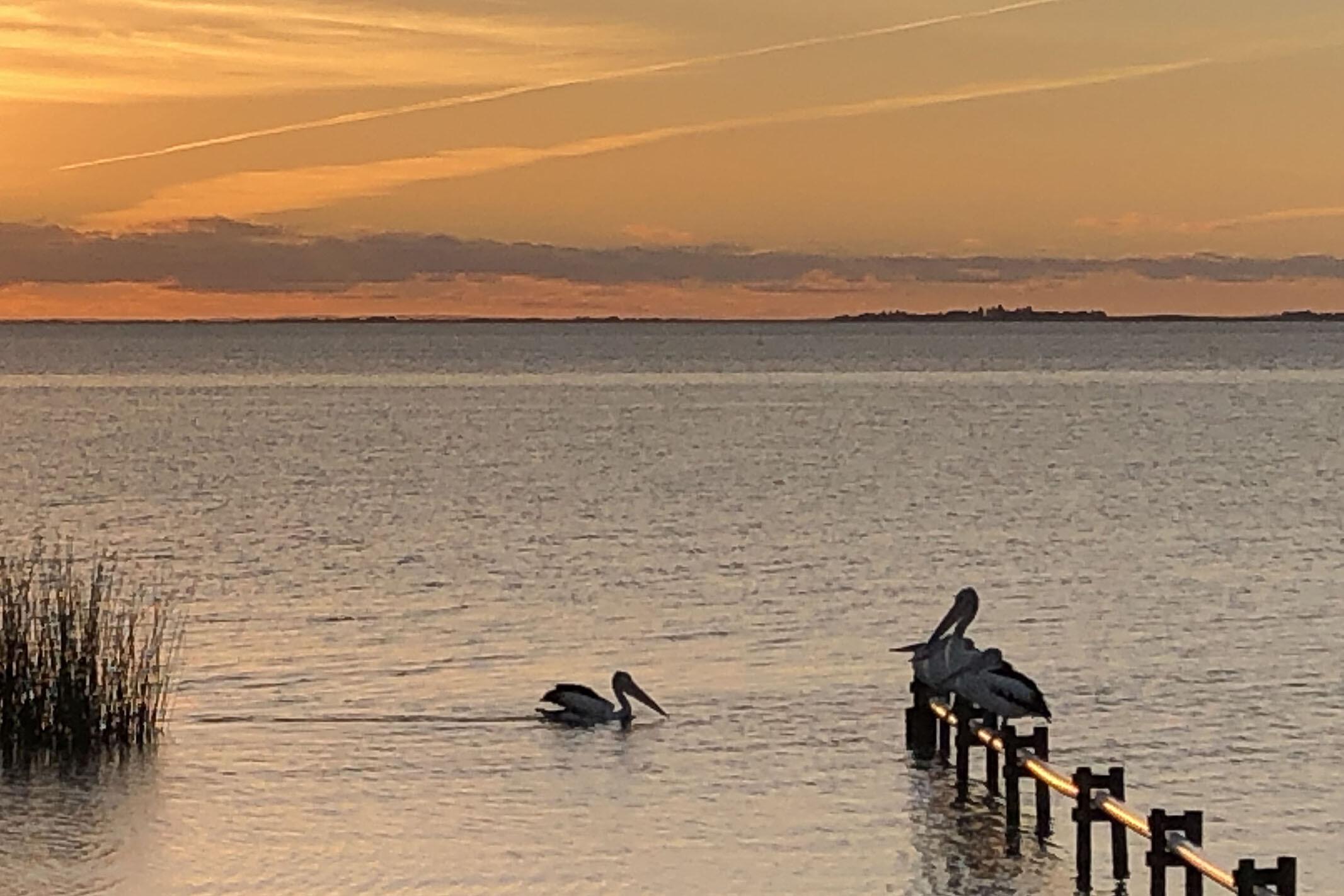 Meningie pelicans