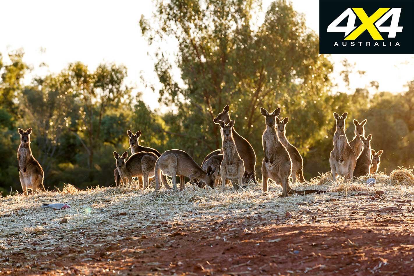 4 X 4 Trip Through Corner Country Kangaroo Jpg