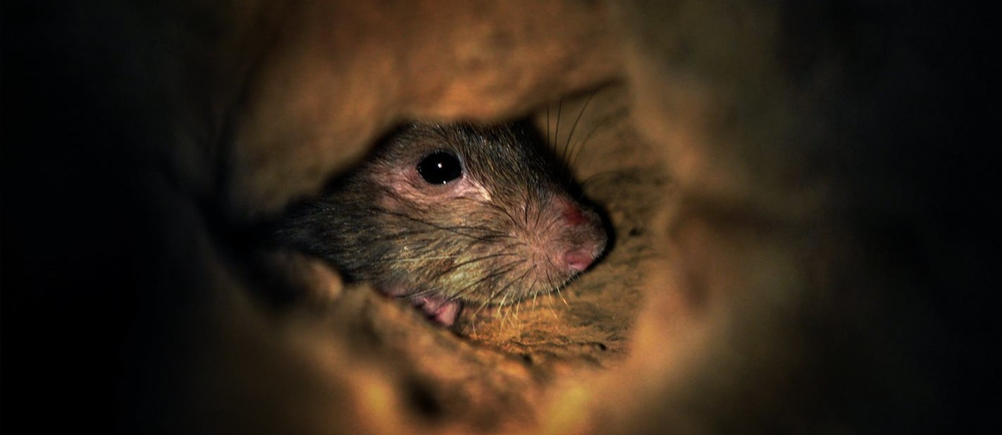 Rodents wreck hundreds of cars every year