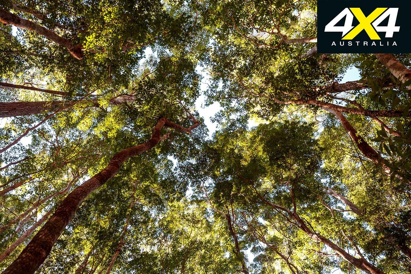 4 X 4 Adventure Series South East Queensland Part 2 Fraser Island Satinay Trees Jpg